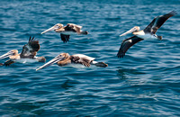 Pelicans over the Pacific, Dana Point
